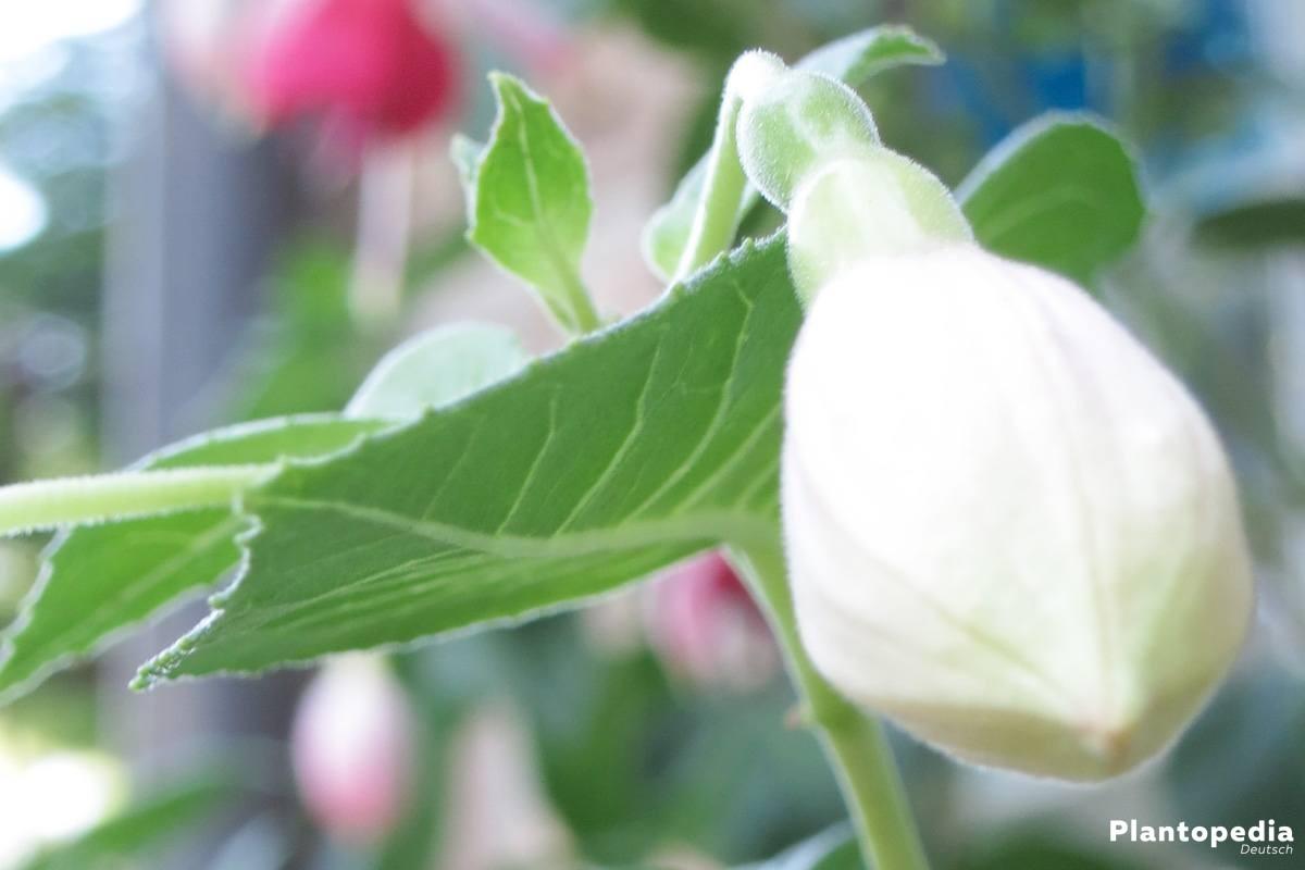 Fuchsia mit einer noch geschlossenen Knospe