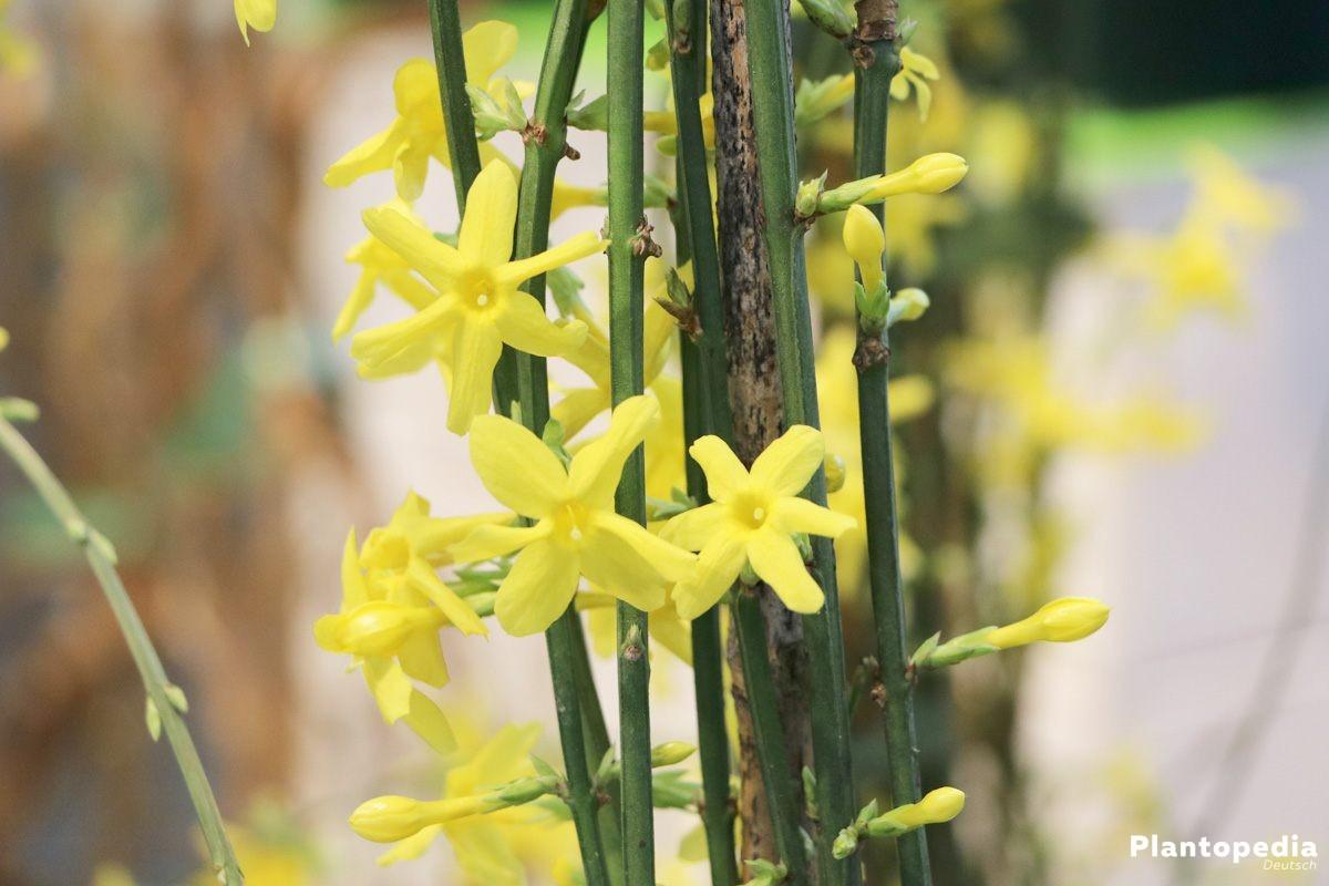 Jasminum nudiflorum, Winter-Jasmin