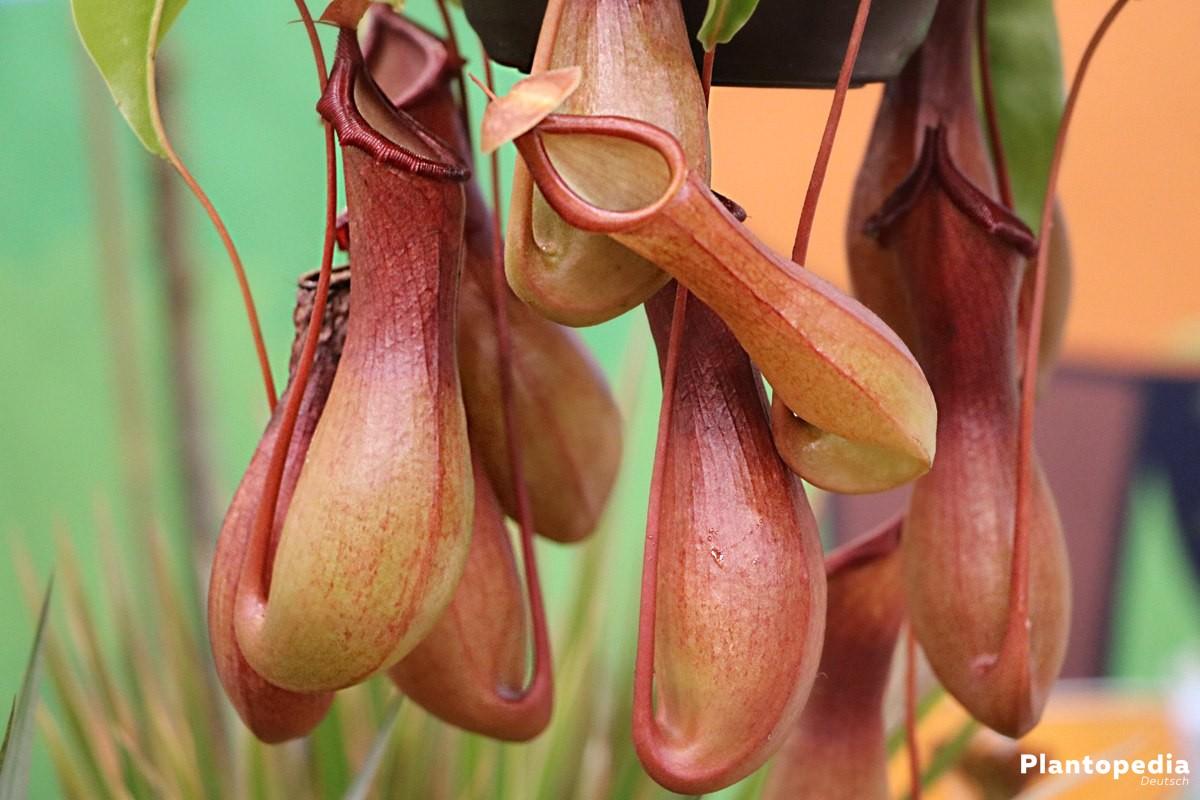 Nepenthes - Kannenpflanzen