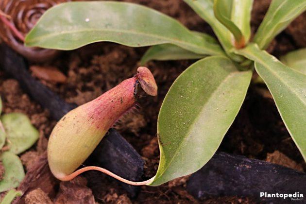 Nepenthes, Kannenpflanzen