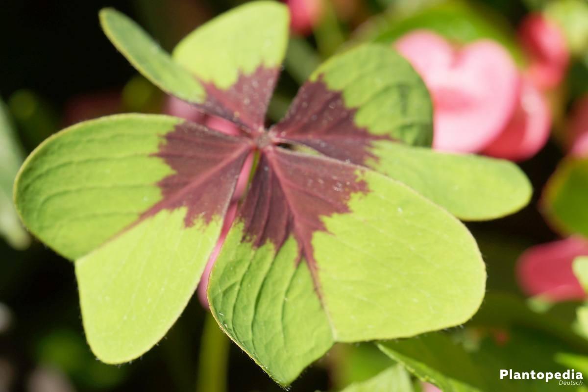Glücksklee, Glückskleeblatt, Oxalis tetraphylla