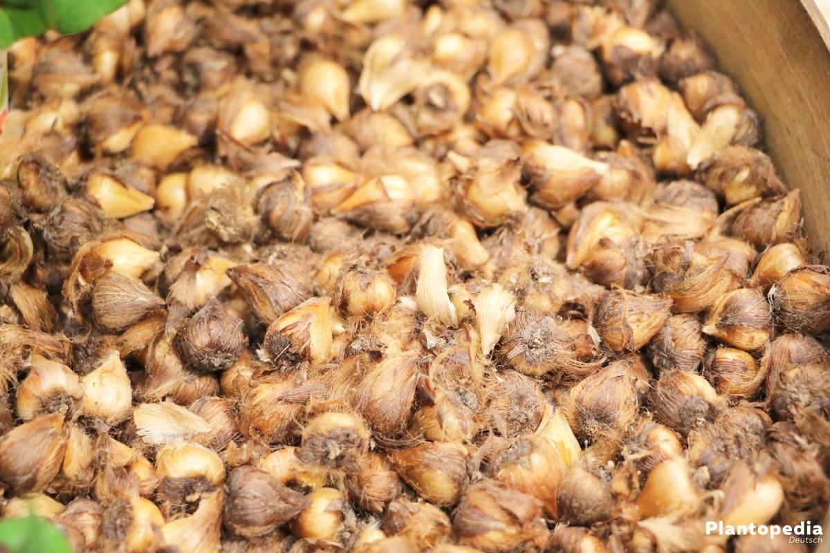 Glücksklee, Glückskleeblatt - eine subtropische Zwiebelpflanze