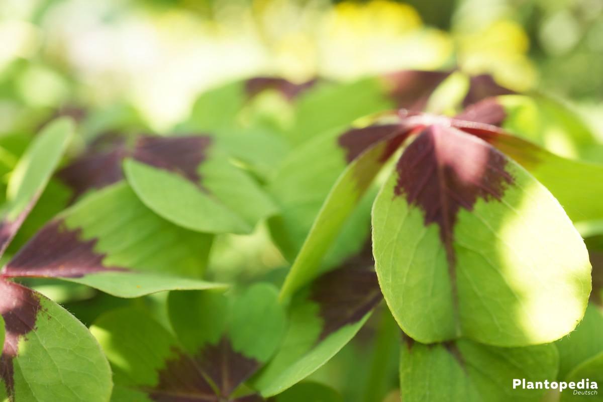 Oxalis tetraphylla gehört zur Pflanzengattung des Sauerklees