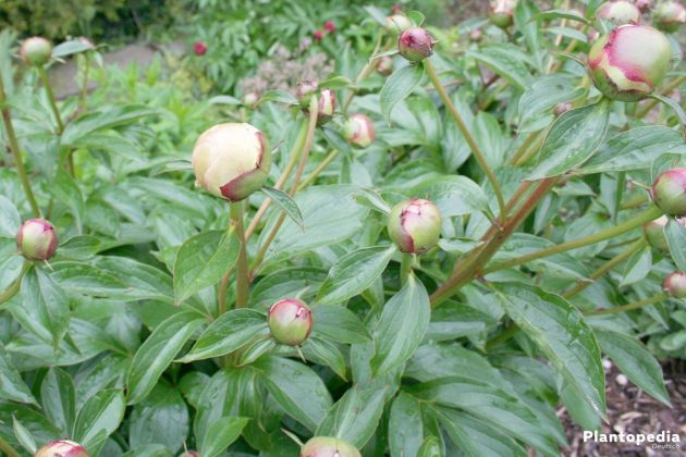 Paeonia officinalis, Päonien, Pfingstrosen