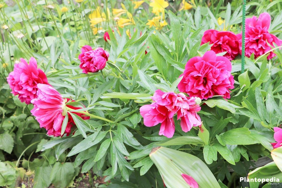 Pfingstrosen mit langlebigen Blüten