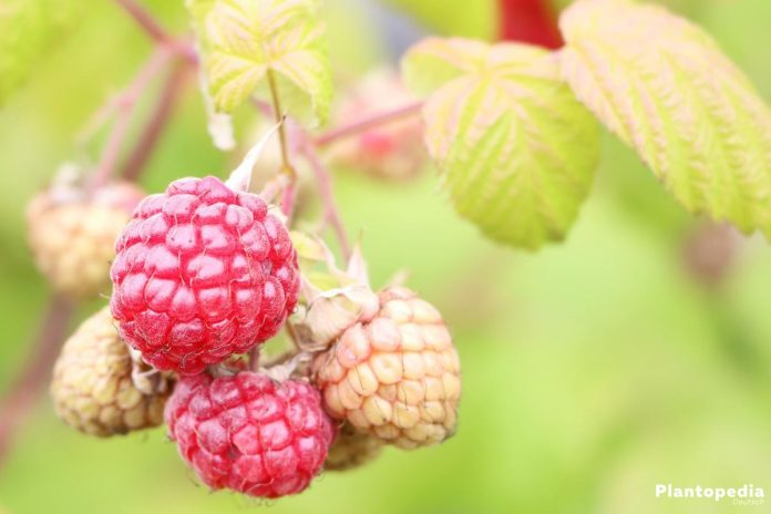 Rubus idaeus, Himbeere