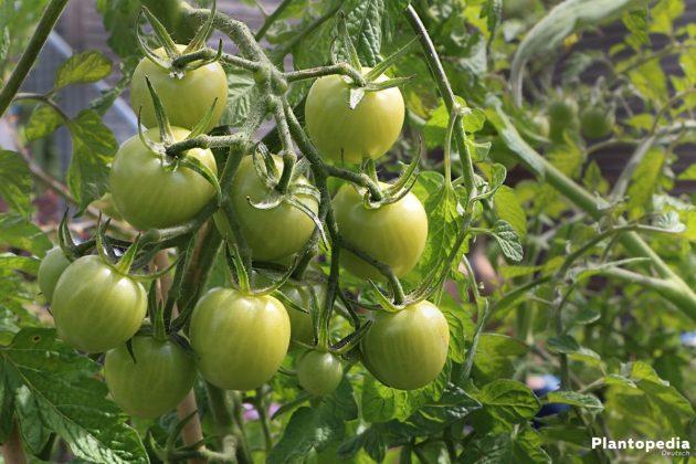 Solanum lycopersicum - unreife Tomaten am Strauch