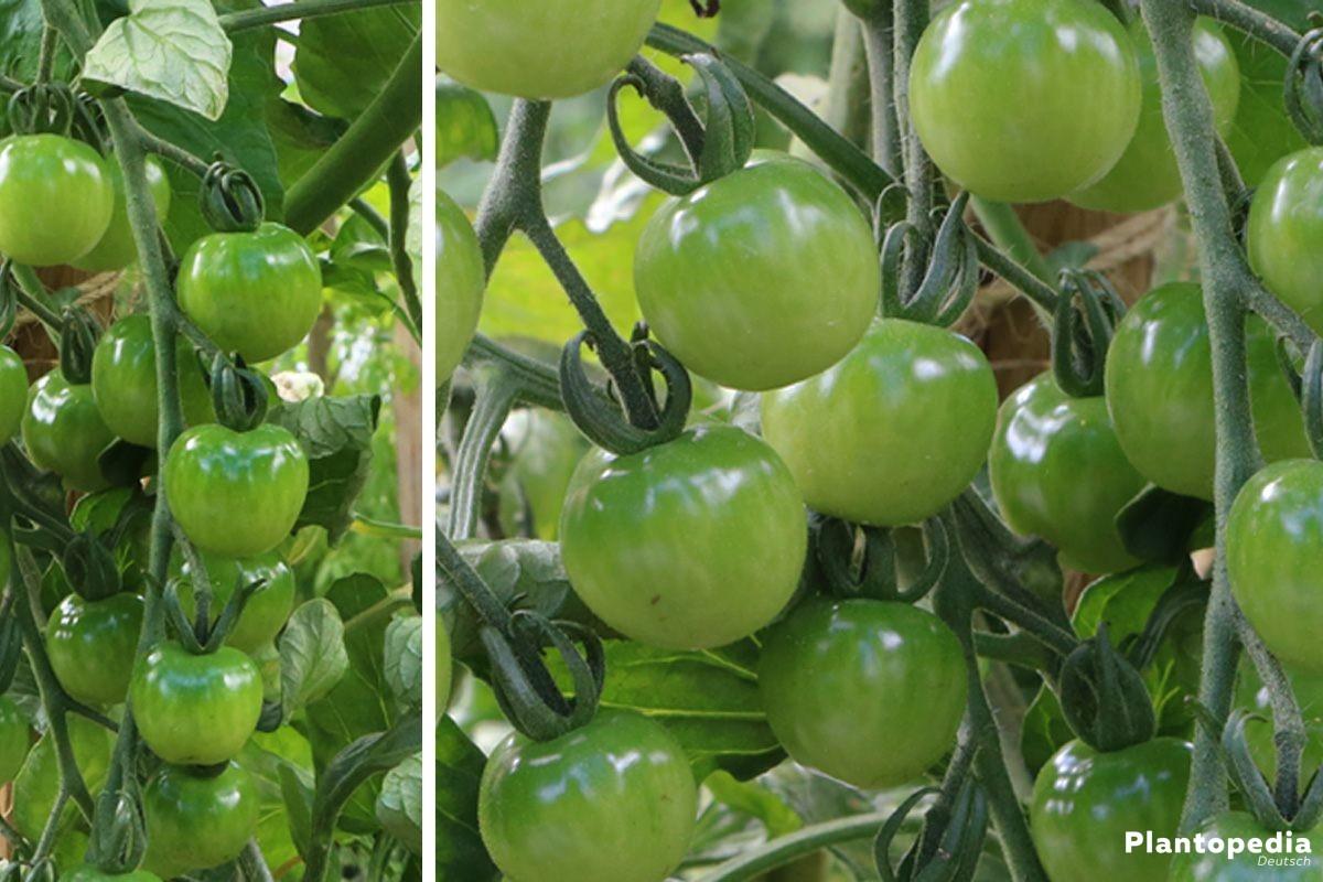 Solanum lycopersicum, Tomatenpflanze