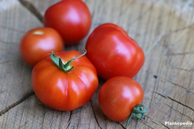 Solanum lycopersicum - Gartentomaten