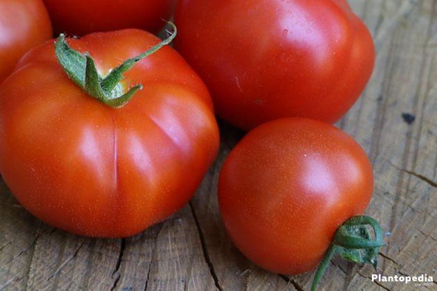Solanum lycopersicum - reife, saftige Tomaten