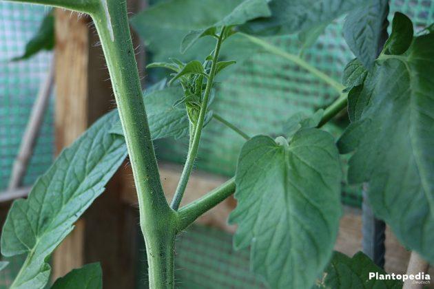 Solanum lycopersicum - neuer Trieb