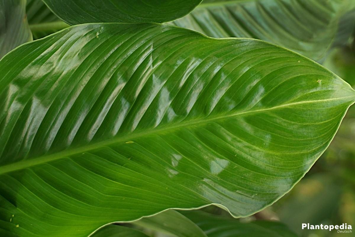 Spathiphyllum mit langen, glänzenden und sattgrünen Blättern