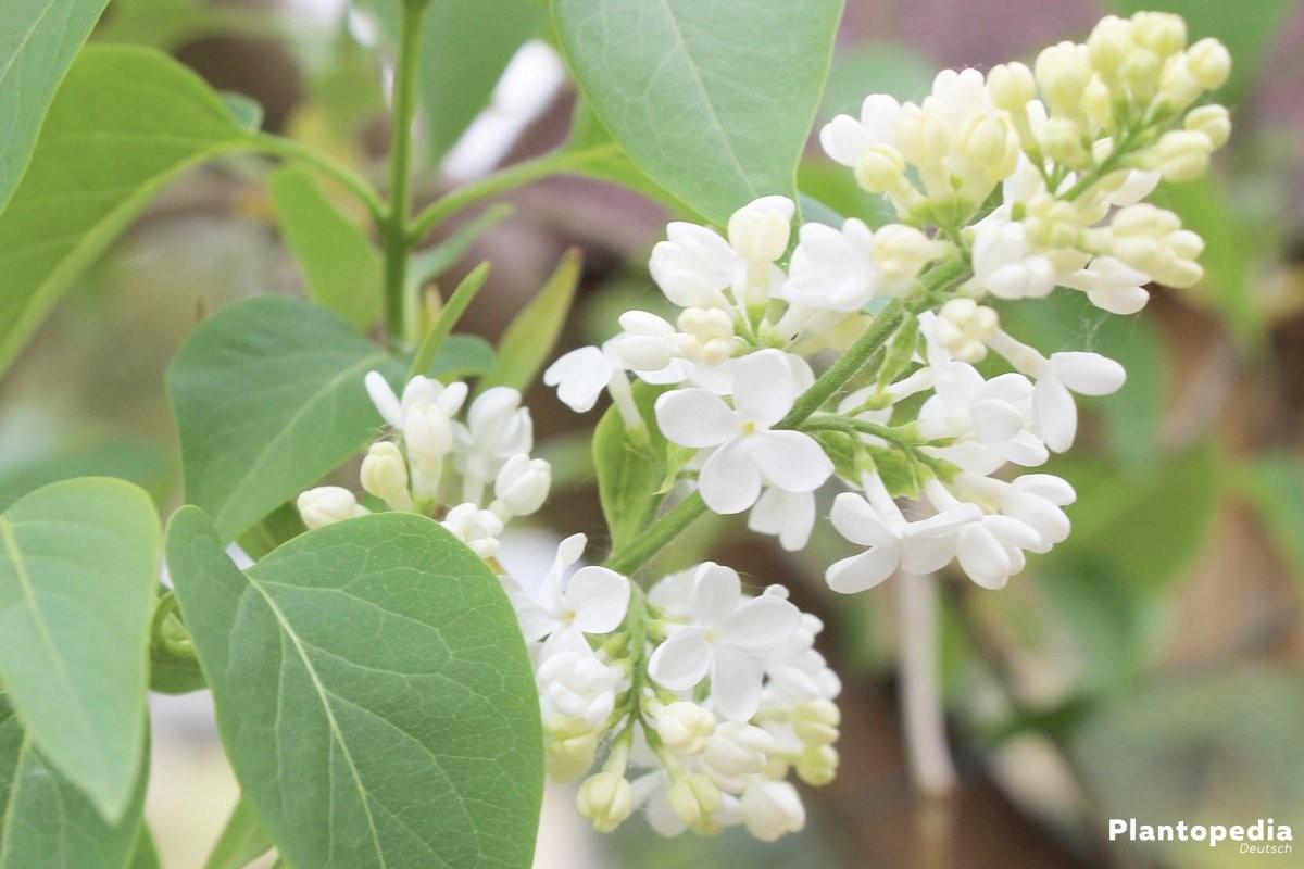 Fliederbusch mit weißen, duftenden Blütendolden