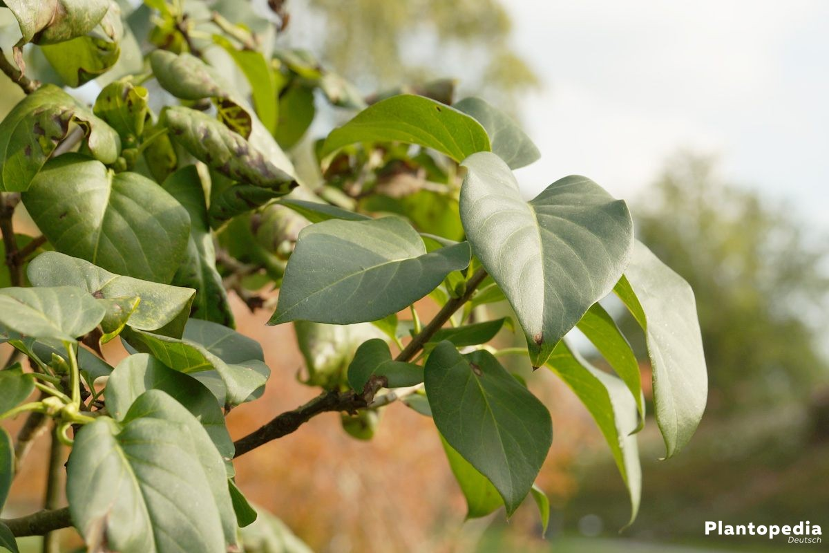 Flieder, Syringa, Fliederbaum kann bis zu 7 m in die Höhe wachsen