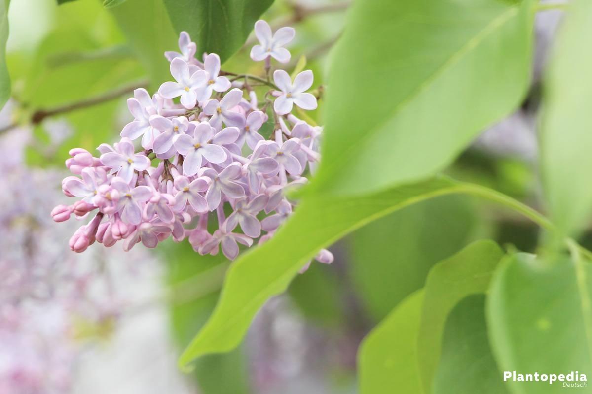 Fliederbusch - sommergrüne Sträucher oder kleine Bäume