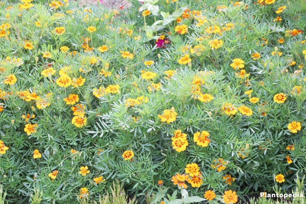Tagetes im Gartenbeet