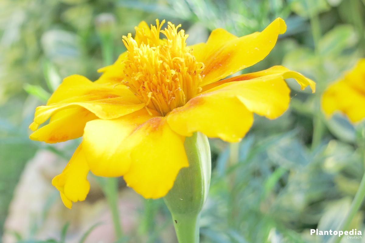 Tagetes, Studentenblume mit leuchtend gelber Blumenfarbe