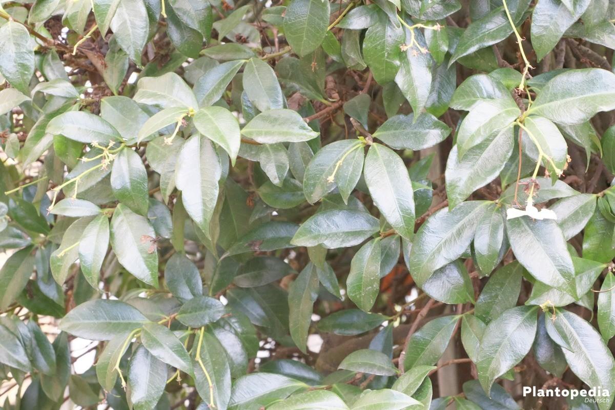 Sternjasmin eignet sich als Kübel- oder Topfpflanze