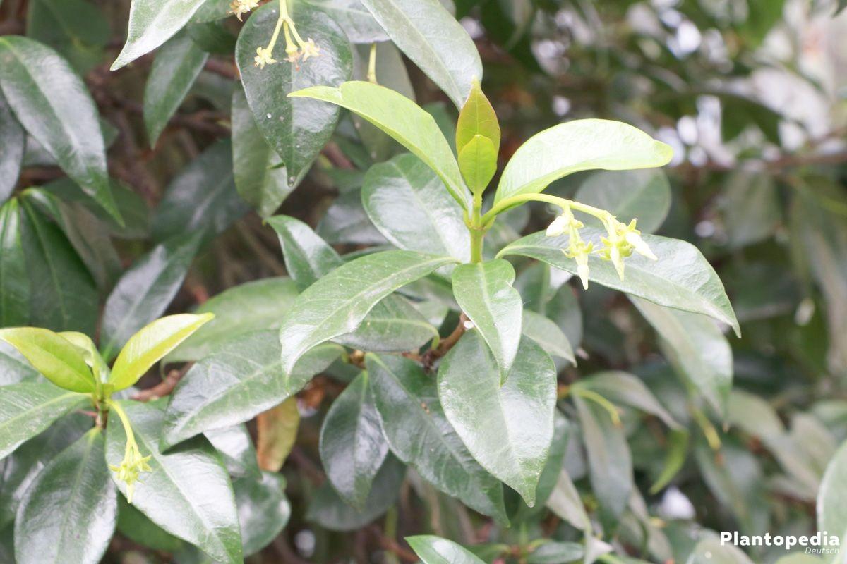 Sternjasmin hat weiße oder gelbe Sternblüten