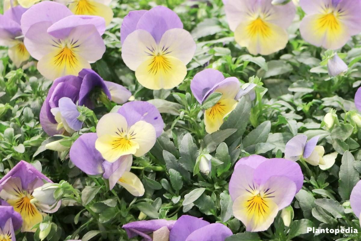 garten stiefm tterchen viola pflanzen und pflege anleitung plantopedia. Black Bedroom Furniture Sets. Home Design Ideas