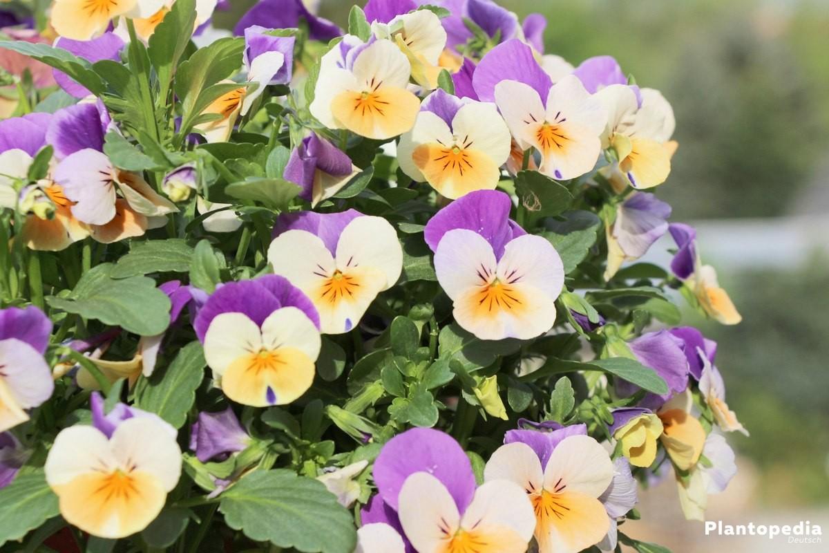 garten stiefm tterchen viola pflanzen und pflege anleitung. Black Bedroom Furniture Sets. Home Design Ideas