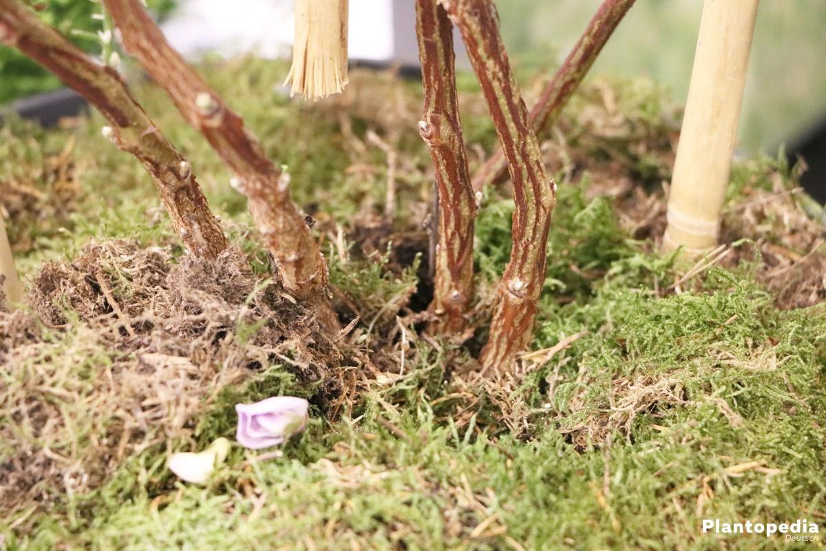 Blauregen, Wisterie - das Substrat sollte mit Humus und Lehm angereichert sein