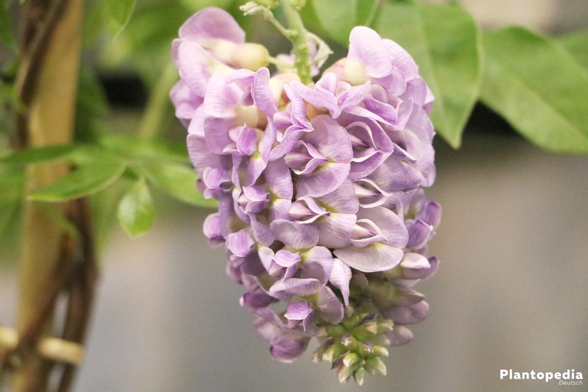 Blauregen, Wisteria, Wisterie zeigt eine üppige Blütenpracht