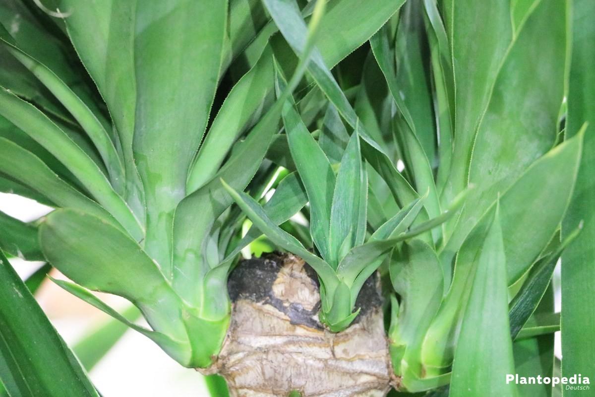 yucca palme palmlilie pflege anleitung plantopedia. Black Bedroom Furniture Sets. Home Design Ideas