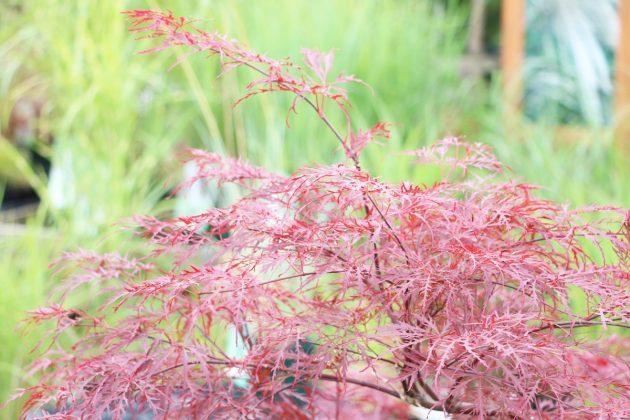 Acer palmatum 'Crimson Princess', japanischer Fächerahorn