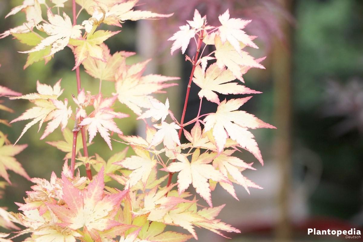 Acer palmatum japonicum, japanischer Fächerahorn