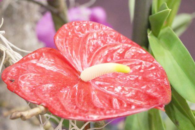 Anthurium andreanum, Anthurie, Flamingoblume