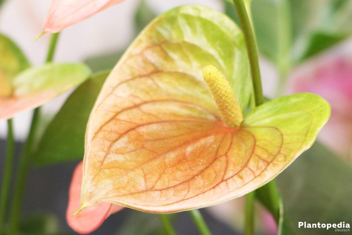 Anthurium andreanum mit zweifarbiger Blüte