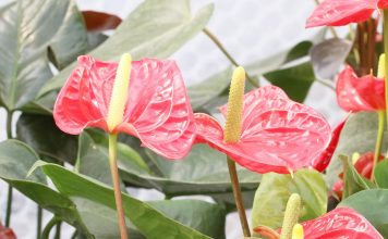 Anthurium andreanum, Anthurie, Flamingoblume