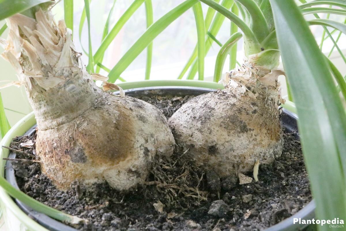 Beaucarnea recurvata mit linealen Blättern bis 90 Zentimeter Länge