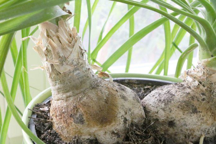 Beaucarnea recurvata, Elefantenfuß