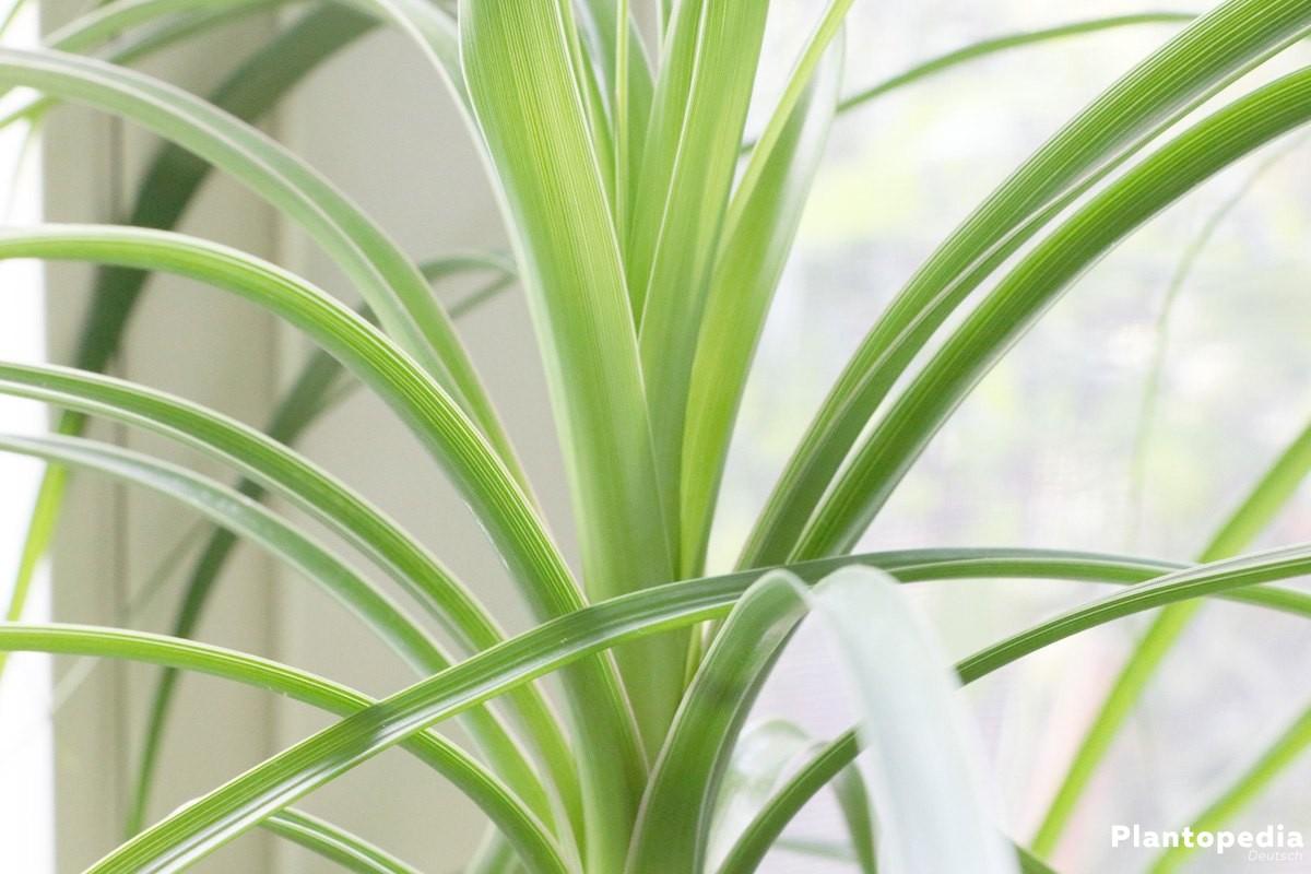 Beaucarnea recurvata, Elefantenfuß als Zimmerpflanze