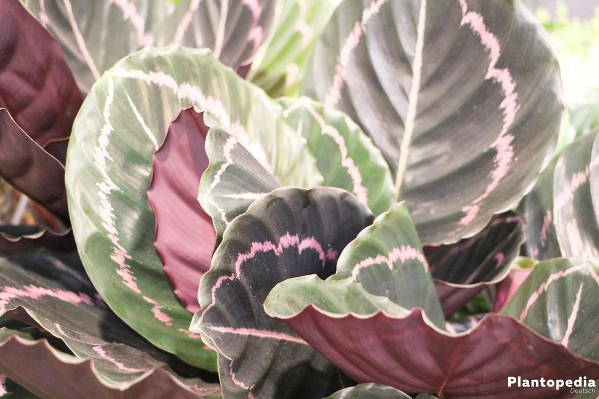 korbmarante calathea arten und pflege anleitung plantopedia. Black Bedroom Furniture Sets. Home Design Ideas