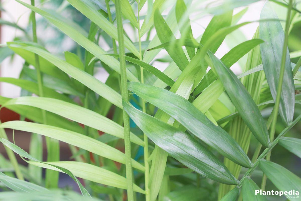 bergpalme chamaedorea elegans pflege vermehren schneiden plantopedia. Black Bedroom Furniture Sets. Home Design Ideas