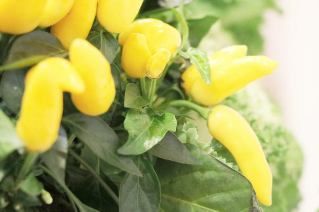 peperoni chili anbauen pflanzen pflege tipps f r mehr ertrag plantopedia. Black Bedroom Furniture Sets. Home Design Ideas