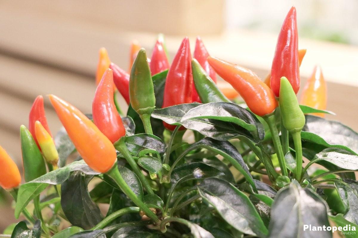 Peperoni, Chili wächst je nach Sorte bis 150 Zentimeter hoch