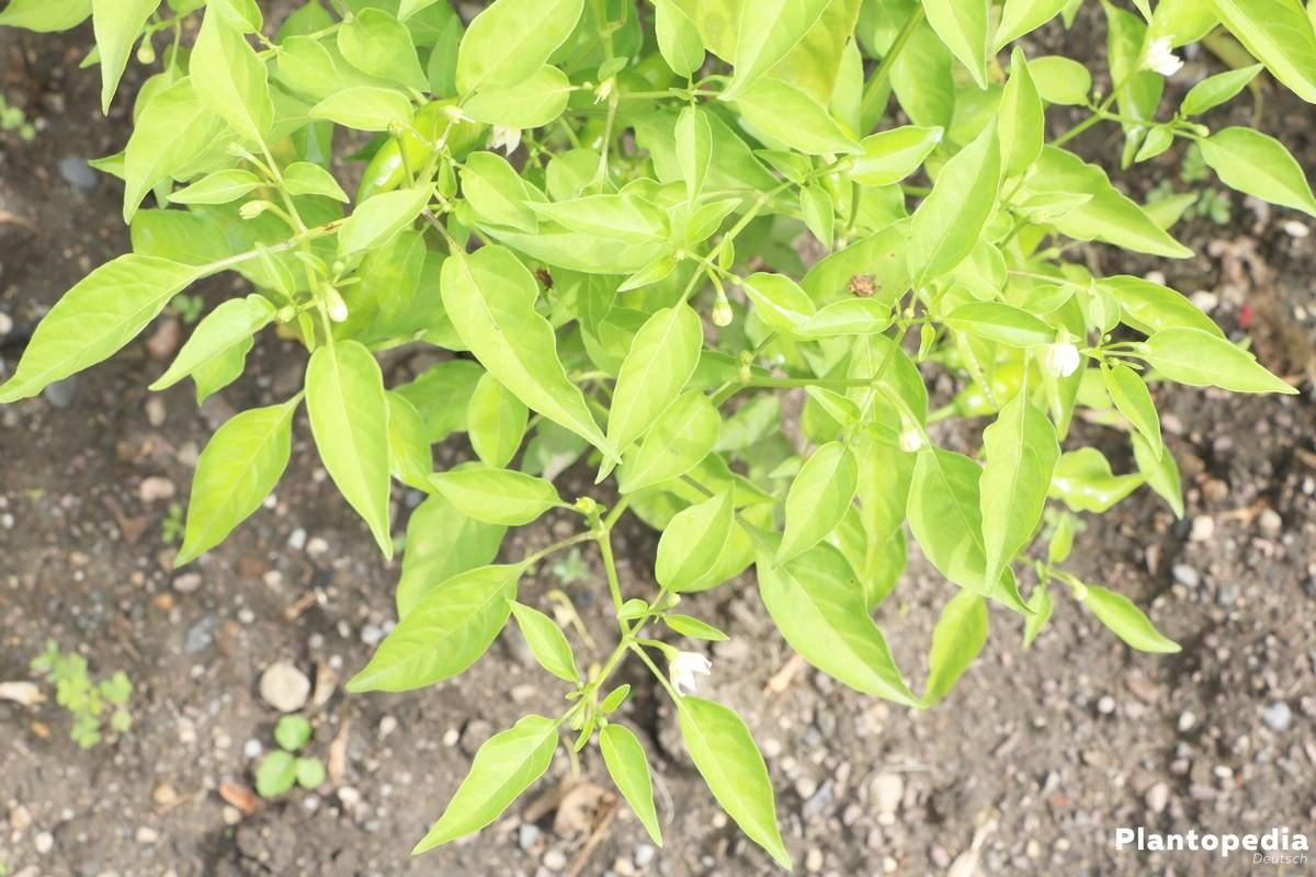 Peperoni, Chili gehört zu den Nachtschattengewächsen