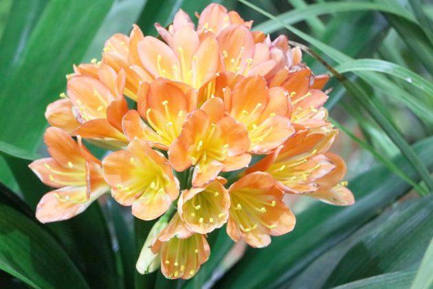 Klivie, Riemenblatt ist eine attraktive Zimmerpflanze