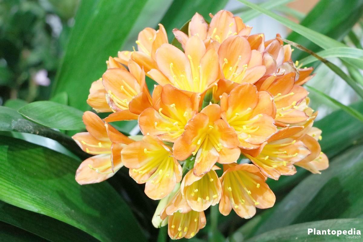 klivie riemenblatt clivia miniata pflege zum bl hen bringen plantopedia. Black Bedroom Furniture Sets. Home Design Ideas