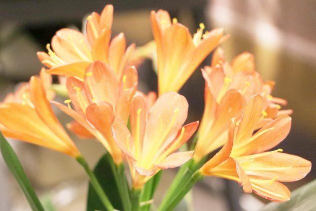 Riemenblatt gehört zu den Amaryllisgewächsen