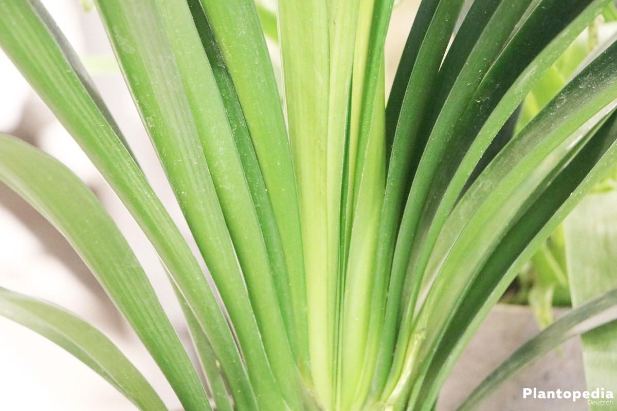 Clivia miniata, Klivie mit saftig grünen Blättern