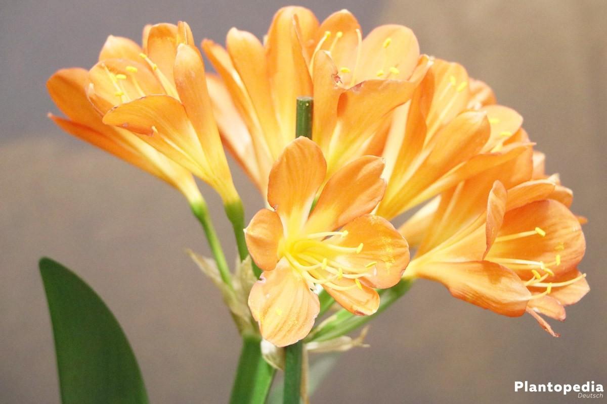 Clivia miniata mit leuchtend orangefarbenen Blüten