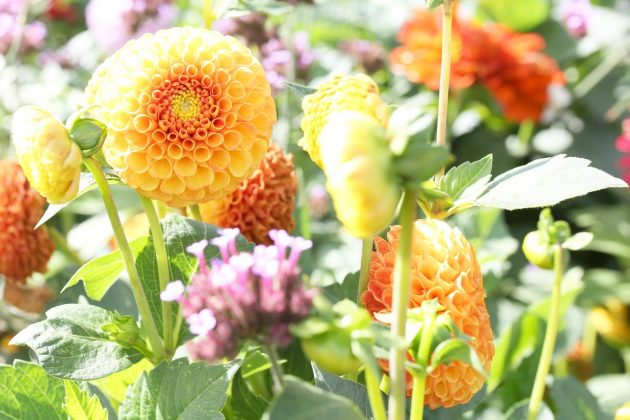 "Dahlia hortensis ""Bantling"""