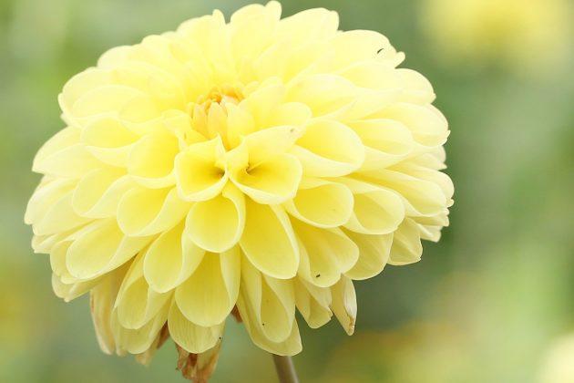"""Dahlia hortensis """"Symphony"""""""