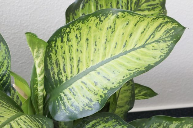 Dieffenbachie mit grün-weißen Blättern