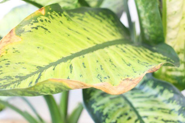Dieffenbachia mit braunen Blatträndern